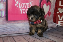 Teddy Bear Male CKC Shihpoo $2000 Ready 2/6 HAS DEPOSIT MY NEW HOME PONTE VEDRA BEACH, FL 1 Lb 1LB 5 oz 6W4D Old