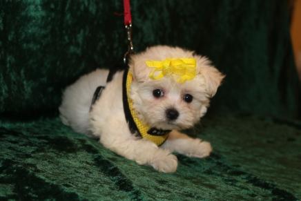 Blondie Female CKC Maltese $1750 Ready 2/25 HAS DEPOSIT! MY NEW HOME IS IN CORAL SPRINGS, FL! 1 Lb 8.6 oz 7 Weeks Old
