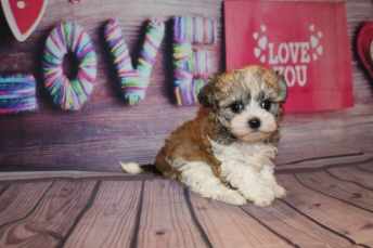 Cleopatra Female CKC Havashu $1750 Ready 2/7 SOLD MY NEW HOME HUDSON, FL 1lb 5 oz 6W4D Old
