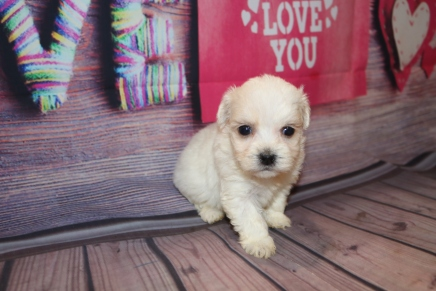 Florence (Ryder) Female CKC Havanese $1750 Ready 2/23 HAS DEPOSIT MY NEW HOME TOWNSEND, GA 1Lb 4W4D Old