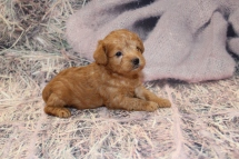 HaHa Female CKC Schnoodle $2000 Ready 3/5 SOLD MY NEW HOME PONTE VEDRA BEACH, FL1lb 11.5oz 3W6D old