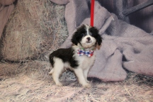 Hugs Male Miki $2000 Ready Feb 6 AVAILABLE 2lb 3oz 7w4d old