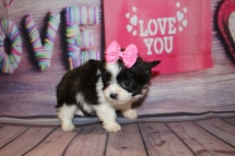 Kisses Female Miki $2000 Ready Feb 6 SOLD MY NEW HOME JACKSONVILLE, FL 1lb .3 oz 6W5D Old