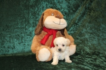 Thunder Male CKC Yorkipoo $2000 Ready 3/15 AVAILABLE 1lb 6 oz 3W2D Old