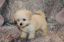 Beau Male CKC Morkipoo $1750 Ready 2/12 HAS DEPOSIT MY NEW HOME ST AUGUSTINE, FL 1 Lb 14 oz 7W1D Old
