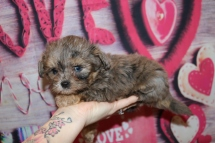 Cuddle Bear Male CKC Shihpoo $2000 Ready 2/6 SOLD! MY NEW HOME JACKSONVILLE, FL 1 Lb 1LB 4 oz 6W4D Old