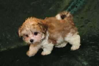 Egypt Female CKC Havashu $1750 Ready 2/7SOLD MY NEW HOME FERNANDINA BEACH, FL 1 Lb 7.7 OZ 9W2D OLD
