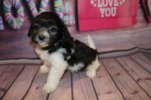Snuggles Male Miki $2000 Ready Feb 6 SOLD MY NEW HOME JACKSONVILLE. FL 2lb 2 oz 6W5D Old