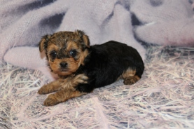 Suzie Female Havashire $2000 Ready 2/28 HAS DEPOSIT MY NEW HOME ST AUGUSTINE, FL 1 Lb 6.5 oz 5 WEEKS OLD