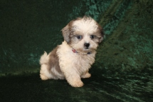 Sugar Bear Male CKC Shihpoo $2000 Ready 2/6 HAS DEPOSIT MY NEW HOME JACKSONVILLE, FL 1 Lb 1.1 oz 9 WEEKS Old