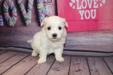 Paris Female CKC Havanese $1750 Ready 2/23 HAS DEPOSIT MY NEW HOME PONTE VEDRA, FL 1lb 3 oz 4W4D Old