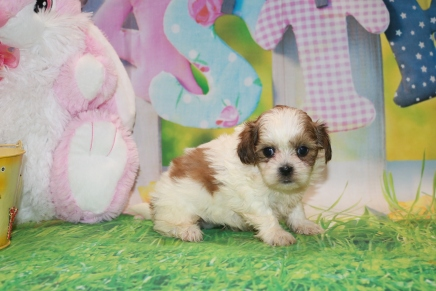 Cannoli Female CKC Malshipoo $2000 Ready 3/31 HAS DEPOSIT MY NEW HOME GAINESVILLE, FL 1lb 12 oz 5 Weeks Old