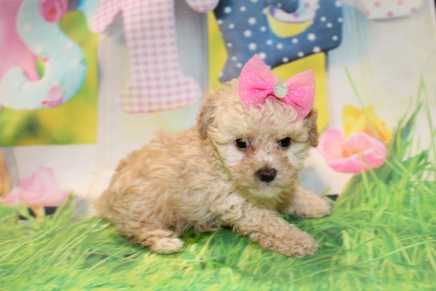 Diamond (Rosie) Female CKC Toy Poodle $2000 Ready 3/27 HAS DEPOSIT MY NEW HOME FLEMING ISLAND, FL 1 Lb 6.4 oz 7 Weeks Old