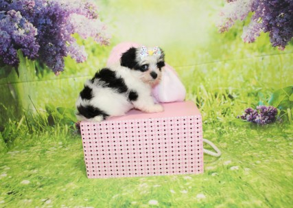 Heaven Female CKC Havashire $2000 Ready 3/29 SOLD MY NEW HOME JACKSONVILLE, FL 1oz 7W3D old