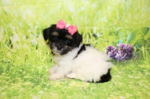 Hope Female CKC $2000 Ready 3/29 SOLD MY NEW HOME PONTE VEDRA BEACH, FL 2lb 5oz 7W3D old