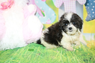 Janis Joplin (Tina Turner) Female CKC Shihpoo $2000 Ready 3/14 HAS DEPOSIT MY NEW HOME IS CA & FL 1lb 2 oz 8W4D Old