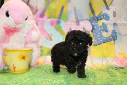 King Male CKC Toy Poodle $2000 Ready 3/27 HAS DEPOSIT MY NEW HOME ST SIMON ISLAND, FL 1 Lb 9.4 oz 7 Weeks Old