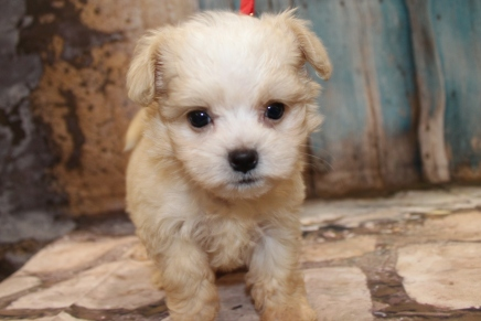 Lexus Female CKC Shihpoo $1750 Ready 3/6 SOLD MY NEW HOME JACKSONVILLE, FL 1 lb 7.5 oz 7W1D Old