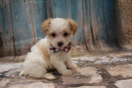 Lightning Male CKC Yorkipoo $2000 Ready 3/15 SOLD MY NEW HOME MIAMI, FL 1LB 3 oz 6W5D OLD