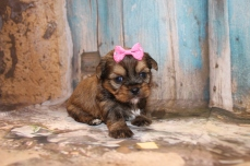 Maize Female Shorkie $1750 Ready 3/26 HAS DEPOSIT MY NEW HOME IS FERNANDINA BEACH, FL 1Lb 5 oz 3W4D Old