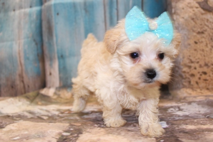 Misty Female CKC Yorkipoo $2000 Ready 3/15 SOLD MY NEW HOME IS IN SPRING HILL, FL! 1lb 3oz 6W5D Old