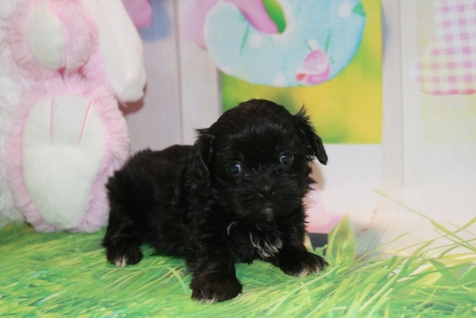 Mozzarella Female CKC Malshipoo $1750 Ready 3/31 AVAILABLE 1lb 8 oz 5 Weeks Old