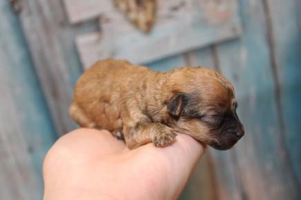 Pappy Male Havapoo $2000 Ready 4/26 HAS DEPOSIT MY NEW HOME TAMPA, FL 3.5oz 3 days old