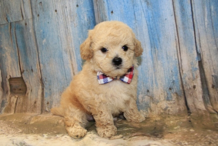 Pepper (Keikilani) Male CKC Maltipoo $2000 Ready 3/15 SOLD MY NEW HOME IS IN ST. MARYS, GA! 1LB 12.5 oz 6W1D Old