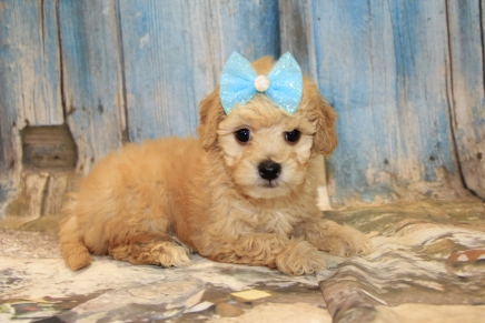 Pickles Female CKC Maltipoo $2000 Ready 3/15 SOLD MY NEW HOME IS IN PONTE VEDRA,FL! 2LB 3 oz 6W1D Old