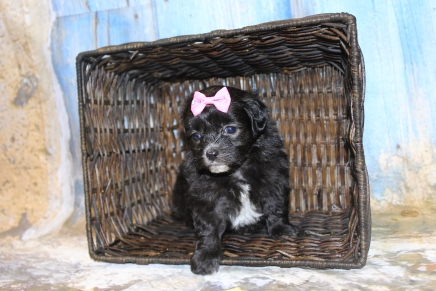 Little Queen Female CKC Maltipoo $1750 Ready 3/27 SOLD MY NEW HOME JACKSONVILLE, FL 1 Lb 3.5 oz 4W5D Days Old