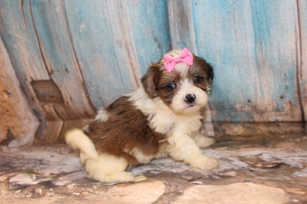 Stevie Nicks Female CKC Shihpoo $2000 Ready 3/14 SOLD MY NEW HOME JACKSONVILLE, FL 1lb 11 oz 5W2D Old