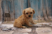 Sunshine Female CKC Yorkipoo $2000 Ready 3/15 HAS DEPOSIT MY NEW HOME JAX BEACH, FL 1lb 5oz 6W5D Old
