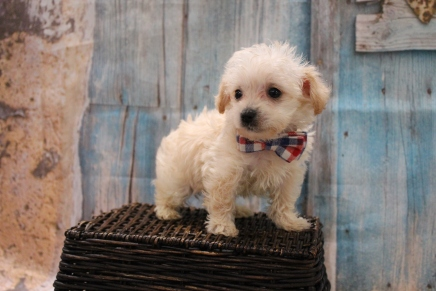 Thunder Male CKC Yorkipoo $2000 Ready 3/15 SOLD MY NEW HOME ST AUGUSTINE, FL 1LB 1 oz 6W5D Old