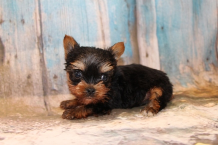 TJ Male CKC T-Cup Yorkie $2500 Ready 3/19 HAS DEPOSIT MY NEW HOME JACKSONVILLE, FL 13 oz 6 Weeks Old