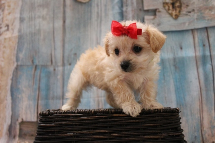 Windy Female CKC Yorkipoo $2000 Ready 3/15 SOLD MY NEW HOME ORLANDO, FL 1lb 4oz 6W5D Old
