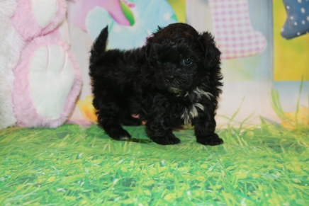 Zitto Female CKC Malshipoo $1750 Ready 3/31 HAS DEPOSIT MY NEW HOME JACKSONVILLE, FL 1lb 10.5 oz 5 Weeks Old