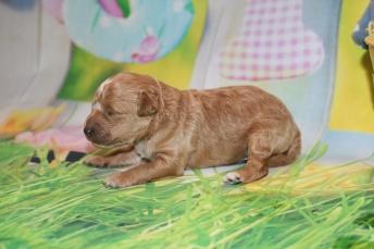2 Charlie Male Mini Labradoodle 14.5oz 7 days old (9)