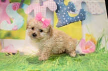 Diamond (Rosie) Female CKC Toy Poodle $2000 Ready 3/27 SOLD MY NEW HOME FLEMING ISLAND, FL 1 Lb 6.4 oz 7 Weeks Old