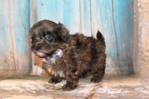 Freddie Mercury Male CKC Shihpoo $1750 Ready 3/14 HAS DEPOSIT MY NEW HOME JACKSONVILLE, FL 2 Lbs 5W2D Old