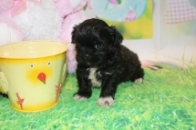 Fritta Female CKC Malshipoo $1750 Ready 3/31 HAS DEPOSIT MY NEW HOME ST AUGUSTINE, FL 1lb 8 oz 5 Weeks Old