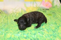 Gentle Male CKC Maltipoo $1750 Ready 5/8 AVAILABLE 8.5 oz 5 Days old