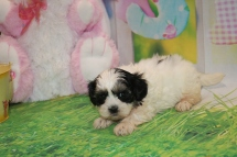 Linguine Female CKC Malshipoo $1750 Ready 3/31 HAS DEPOSIT MY NEW HOME ST AUGUSTINE, FL 2lbs 5 Weeks Old