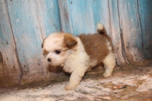 Mercedes Female CKC Shihpoo $2000 Ready 3/6 HAS DEPOSIT MY NEW HOME ORLANDO, FL 1 lb 2.5 oz 7W1D Old
