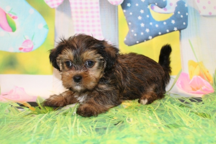 Mia Female Shorkie $1750 Ready 3/26 SOLD MY NEW HOME IS FERNANDINA BEACH, FL 1Lb 1.3 oz 7W2D Old