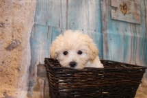 Mickey Male CKC Yorkipoo $1750 Ready 3/5 SOLD MY NEW HOME JACKSONVILLE, FL 2 Lb 5.5 oz 8 Weeks Old
