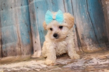Misty Female CKC Yorkipoo $2000 Ready 3/15 HAS DEPOSIT! MY NEW HOME IS IN SPRING HILL, FL! 1lb 3oz 6W5D Old