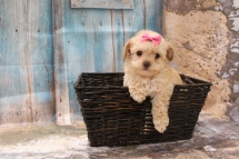 Olive Female CKC Maltipoo $2000 Ready 3/15 SOLD MY NEW HOME JUPITER, FL 1LB 1OZ 6W1D OLD