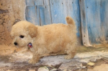 Pepper (Keikilani) Male CKC Maltipoo $2000 Ready 3/15 HAS DEPOSIT! MY NEW HOME IS IN ST. MARYS, GA! 1LB 12.5 oz 6W1D Old
