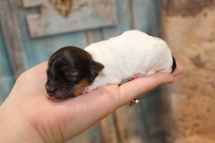 Pippy Female Havapoo $2000 Ready 4/26 AVAILABLE 4oz 3 days old