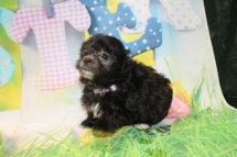 Little Queen Female CKC Maltipoo $1750 Ready 3/27 HAS DEPOSIT MY NEW HOME JACKSONVILLE, FL 1 Lb 3.5 oz 4W5D Days Old